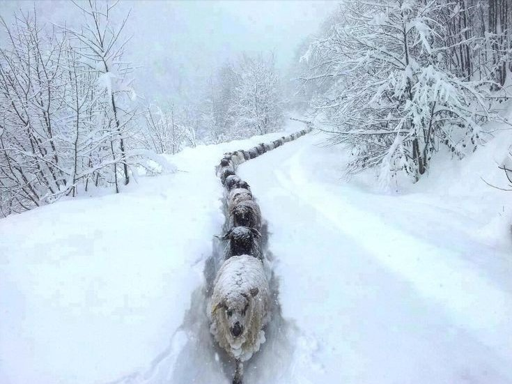 Marika Nygard - Sheep in snow