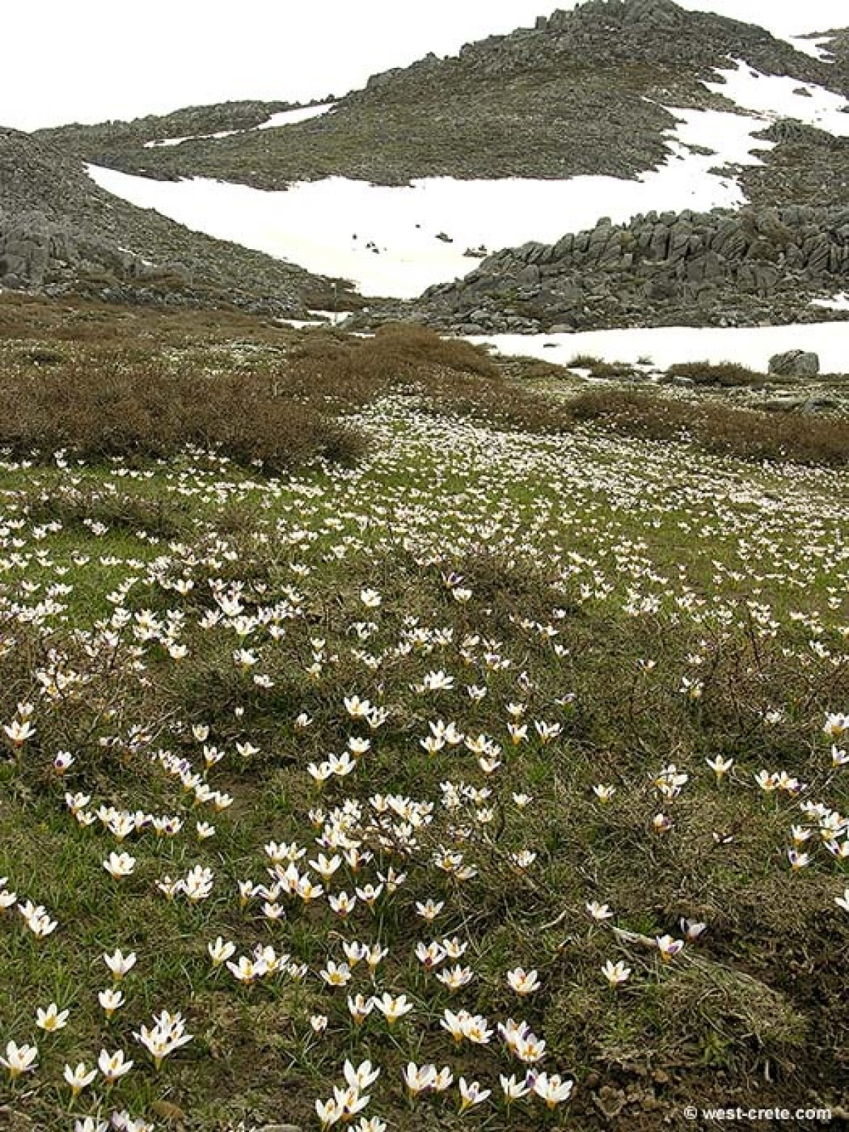Field of Crocus sieberi