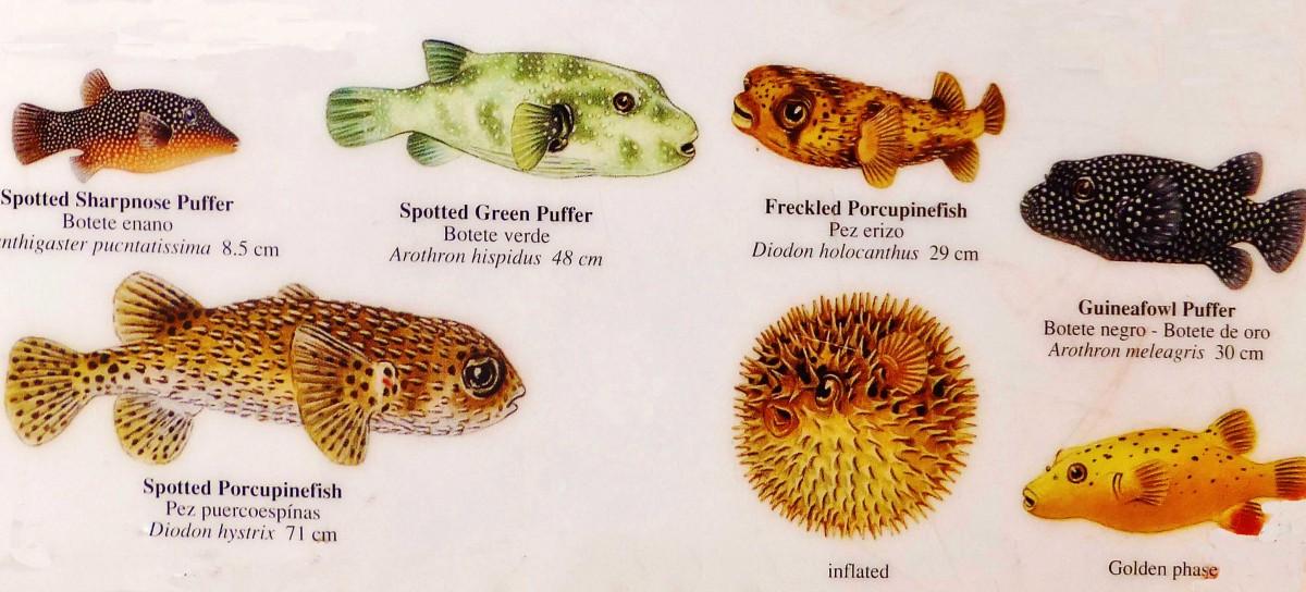 Puffer-fish-card1