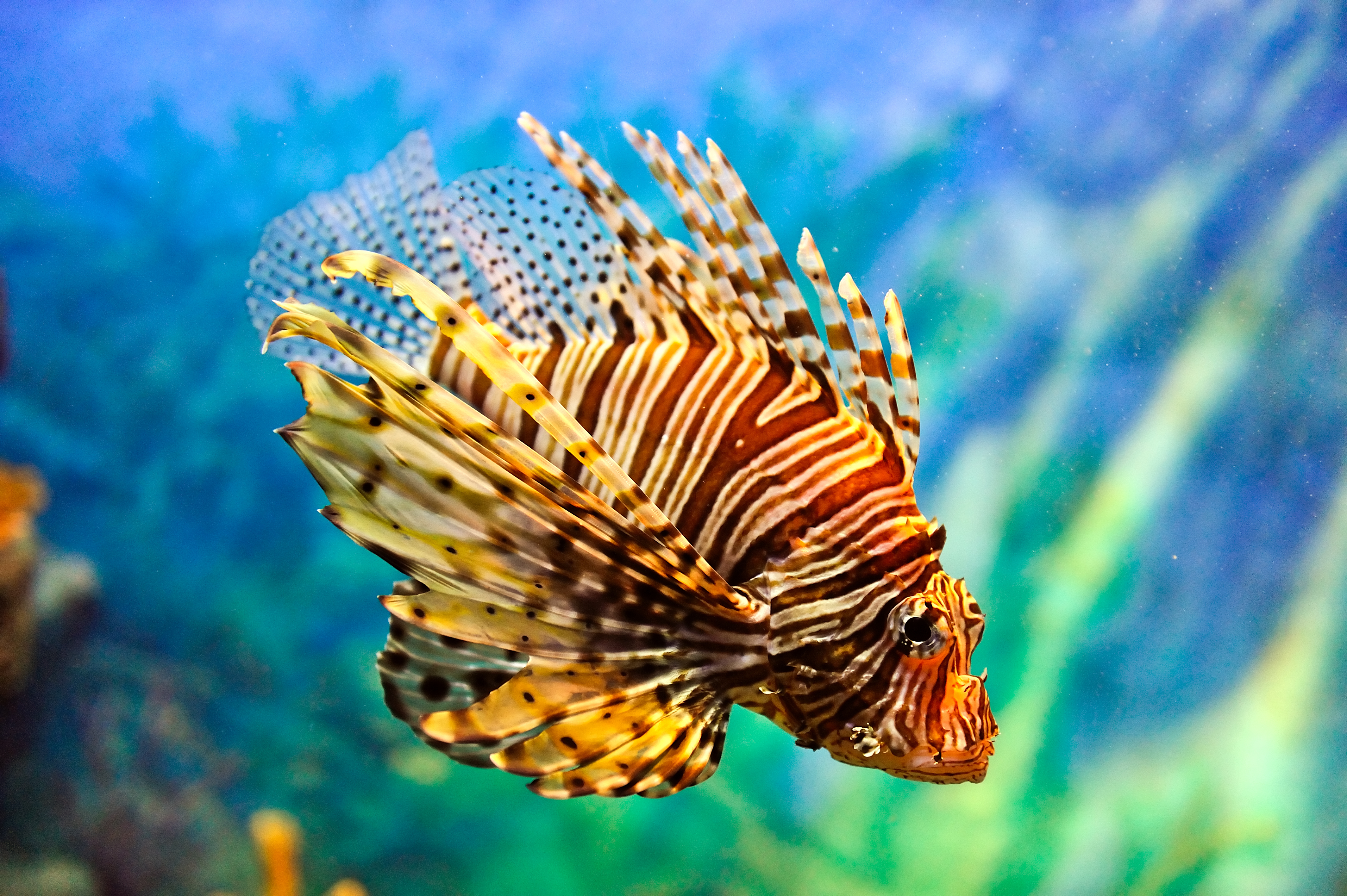 Lionfish-Credit_-Vudhikrai-