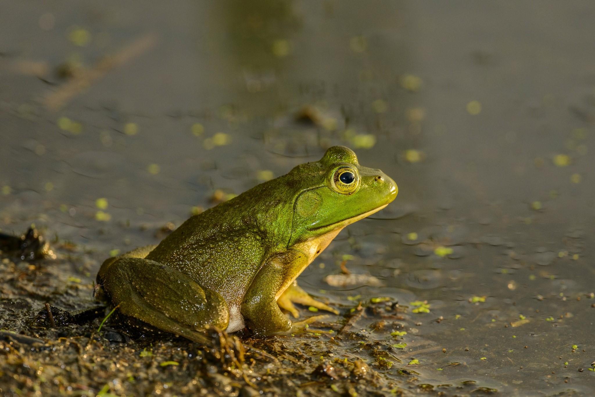 American bullfrog (Rana catesbeiana )