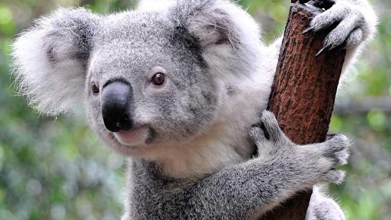 """Τα κοάλα είναι πλέον """"προς εξαφάνιση"""" λόγω της καταστροφής των δασών"""