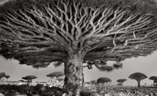 Eden Project: Μέσω κλωνοποίησης αναγεννάται το υψηλότερο δέντρο του κόσμου