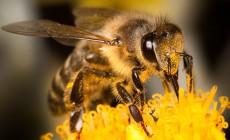 Μορατόριουμ σε φυτοφάρμακα για προστασία μελισσών – Πιέζουν πολυεθνικές για άρση του
