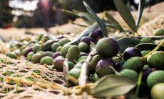 Ελιά: Πλούσια τα οφέλη της για την υγεία