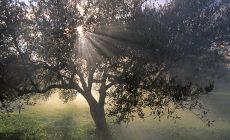 Κρήτη: Τεχνητή νοημοσύνη και αισθητήρες στην καλλιέργεια της ελιάς