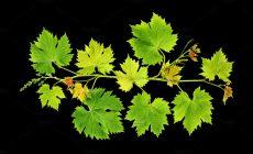 «Xρυσάφι» τα κρητικά αμπελόφυλλα: 1.000 κουρμούλες αμπελιού μπορούν να αποφέρουν μέχρι και 30.000 ευρώ!
