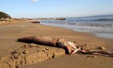 Στην Κρήτη αναπαράγεται το καλαμάρι γίγας που εντοπίστηκε και στο Κατάκολο