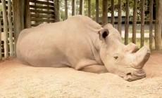 Πέθανε ο τελευταίος αρσενικός βόρειος λευκός ρινόκερος του κόσμου | Βίντεο